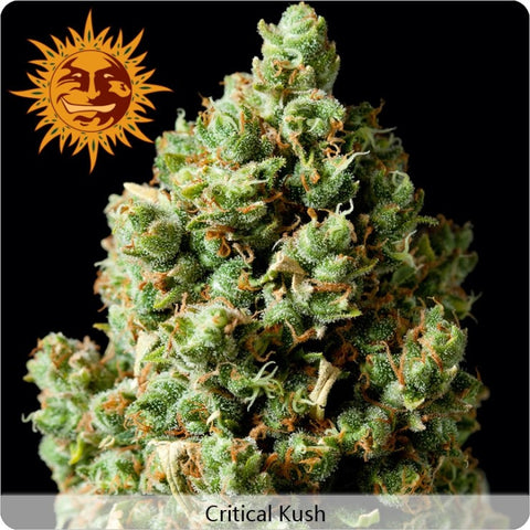 Barney's Farm - Critical Kush - 5-Pack Feminized