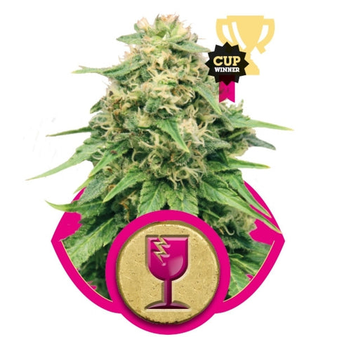 Royal Queen Seeds - Critical - 5-Pack Feminized