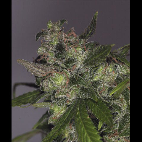 T.H.Seeds - Da Purps - 10-Pack Regular / Photoperiod (Not Feminized)