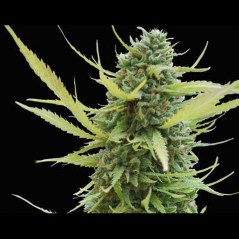 Canuk Seeds - Sour Diesel - 7-Pack Feminized