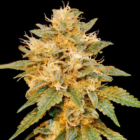 DNA Genetics Limited Edition Collection - SnowLAnd - 6-Pack Feminized