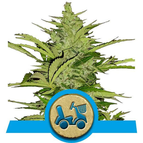 Royal Queen Seeds - Fast Eddy Auto (Autoflowering) - 5-Pack Feminized