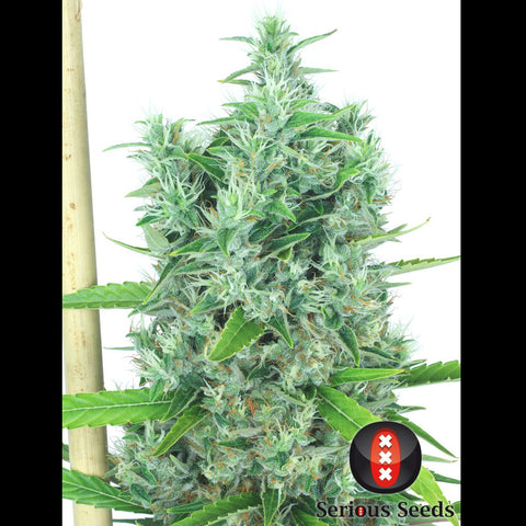 Serious Seeds - Kali Mist - 6-Pack Feminized