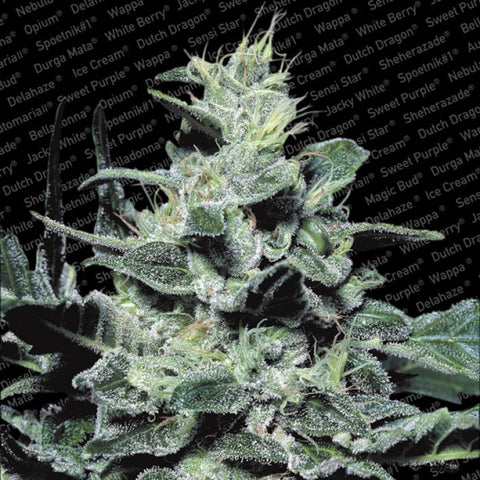 Paradise Seeds - Nebula - 5-Pack Feminized