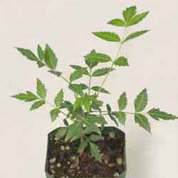Neem Seed Pack or Bulk Seeds (Azadirachta indica)