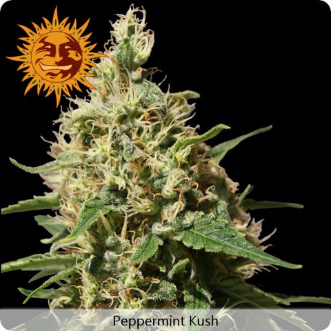 Barney's Farm - Peppermint Kush - 5-Pack Feminized