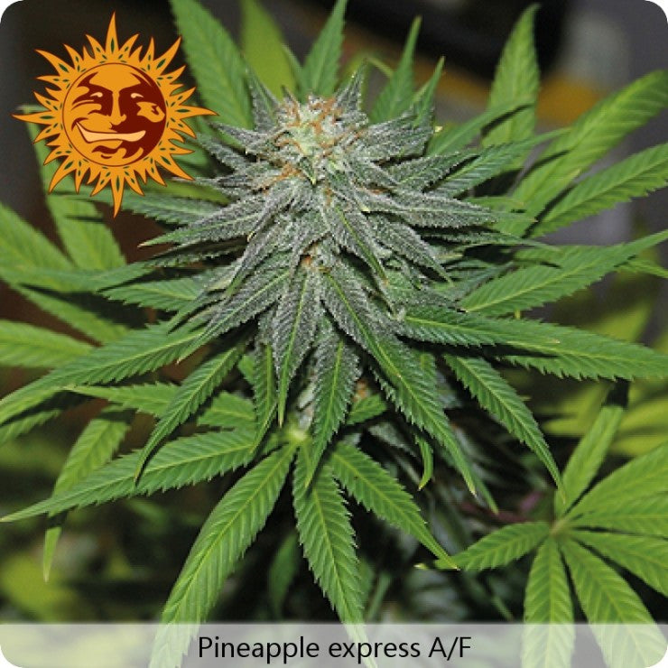 Barney's Farm - Pineapple Express Auto - 3-Pack or 5-Pack Feminized