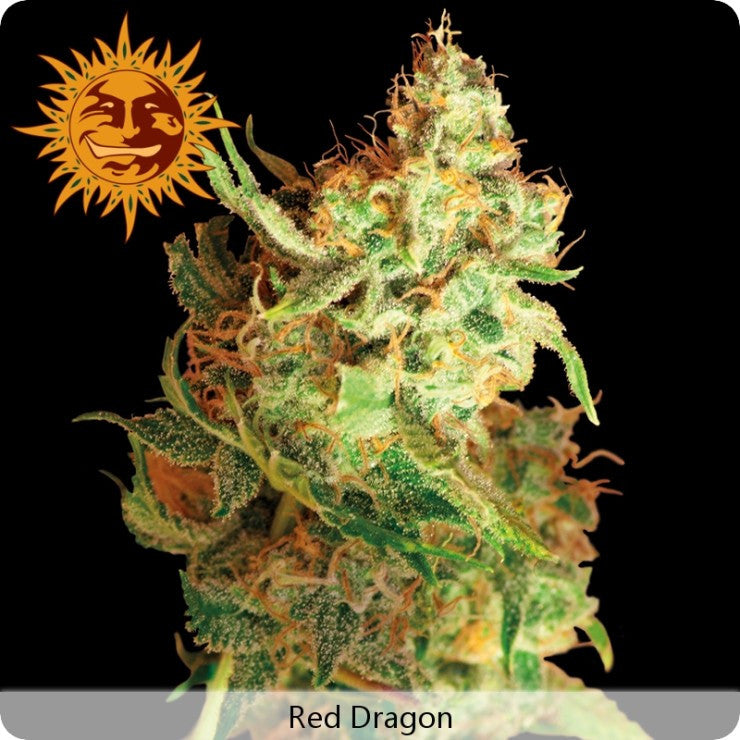 Barney's Farm - Red Dragon - 5-Pack Feminized
