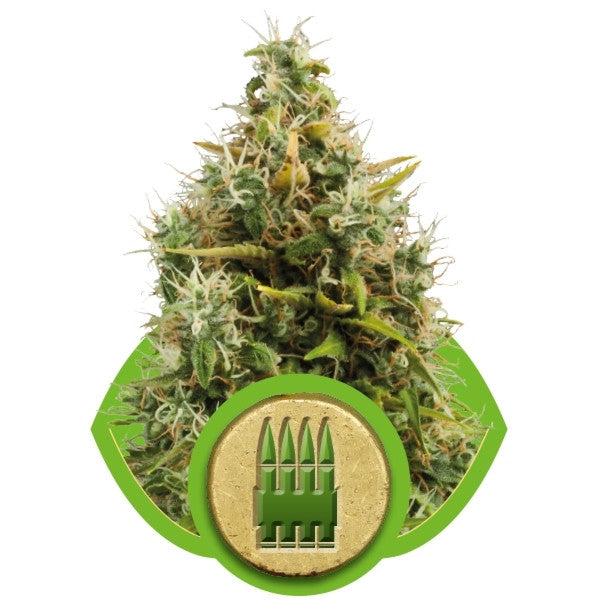 Royal Queen Seeds - Royal AK Automatic (Autoflowering) - 5-Pack Feminized