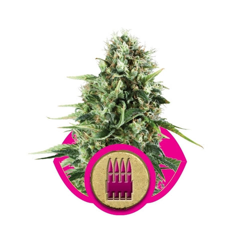 Royal Queen Seeds - Royal AK - 5-Pack Feminized