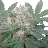 Royal Queen Seeds - Royal Bluematic (Autoflowering) - 5-Pack Feminized