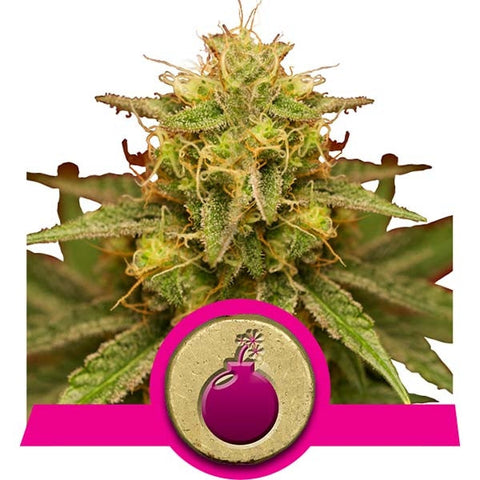 Royal Queen Seeds - Royal Domina - 5-Pack Feminized