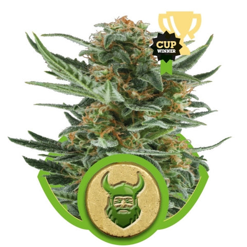 Royal Queen Seeds - Royal Dwarf Automatic (Autoflowering) - 5-Pack Feminized