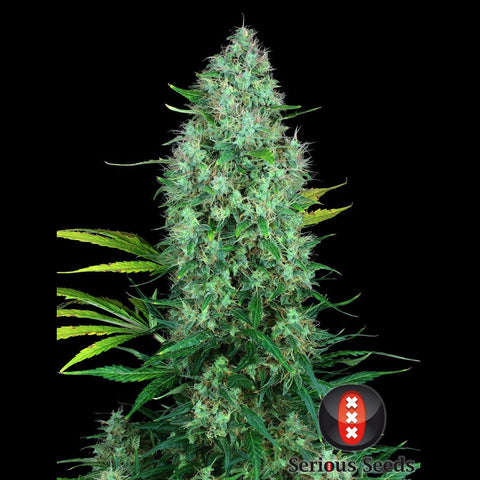 Serious Seeds - Serious 6 - 6-Pack Feminized