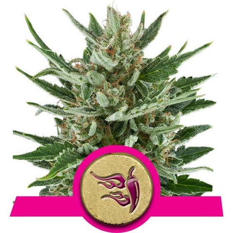 Royal Queen Seeds - Speedy Chile (Fast Flowering) - 5-Pack Feminized