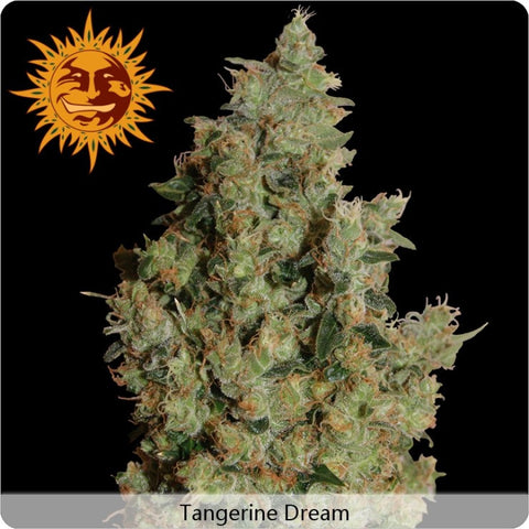 Barney's Farm - Tangerine Dream - 3-Pack or 5-Pack Feminized