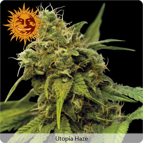 Barney's Farm - Utopia Haze - 5-Pack Feminized