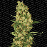 Paradise Seeds - Wappa - 5-Pack Feminized