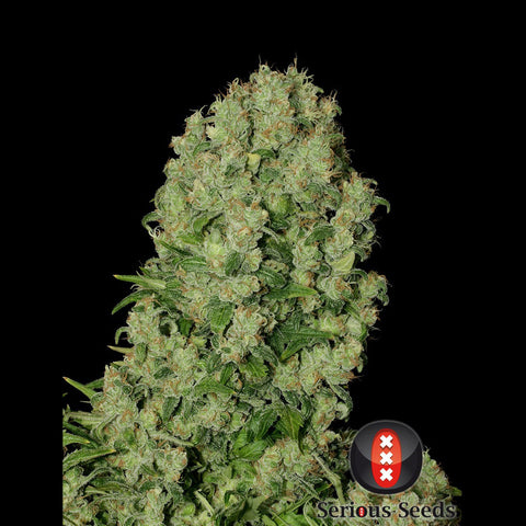Serious Seeds - White Russian - 6-Pack Feminized or 11-Pack Regular