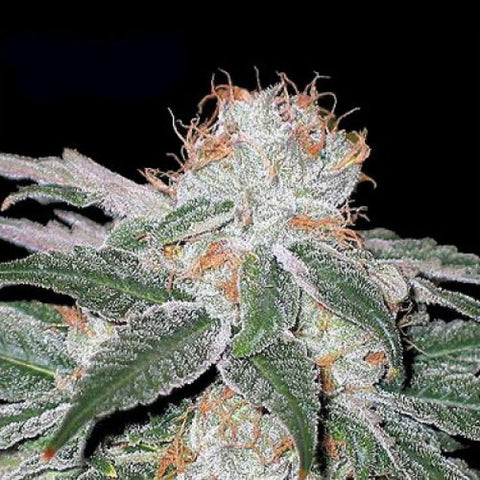 Canuk Seeds - White Widow - 7-Pack Feminized