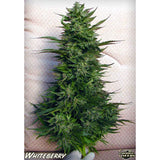 Paradise Seeds - White Berry - 5-Pack Feminized