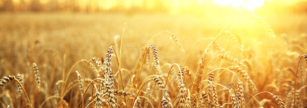 Researchers Working on Celiac-Safe Wheat