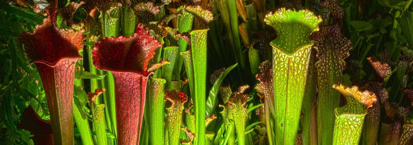 The Secret to Eating Gluten Could Be Hiding in Carnivorous Plants