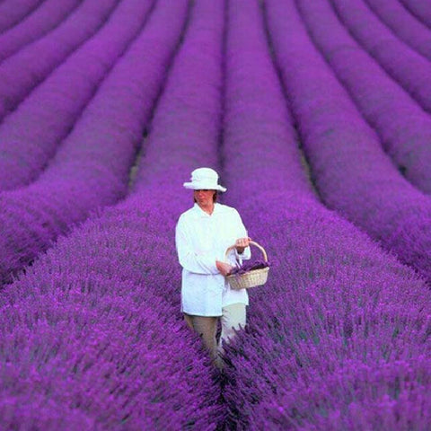 Image of Organic Lavender Seeds - 200 pcs