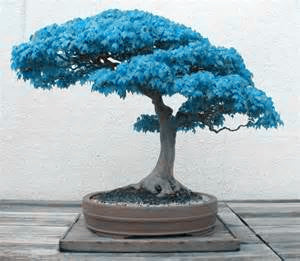 Rare Japanese Blue Bonsai Seeds - 20pcs
