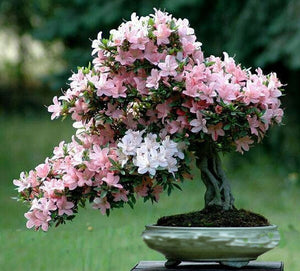 Cherry Flower Bonsai Rare Seeds - 10PCS
