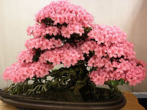Image of Cherry Flower Bonsai Rare Seeds - 10PCS