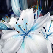 Blue Heart Lily Plant Seeds 50 Particles