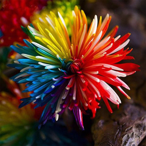 Image of 20 Rainbow Chrysanthemum Flower Seeds Rare Color