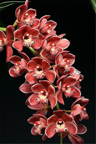Image of Rare Cymbidium Seeds - 19 different seeds - 100pcs