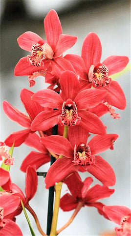 Rare Cymbidium Seeds - 19 different seeds - 100pcs