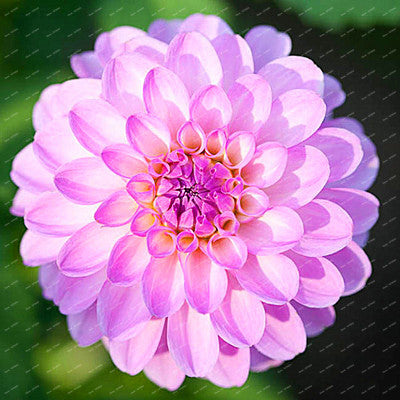 Dahlia Bulbs Rare Colors - 2pcs