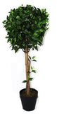 Ficus Ball Tree 105cm