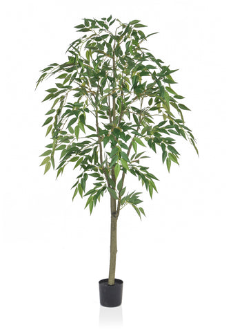 150cm ficus benjamina weeping fig tree