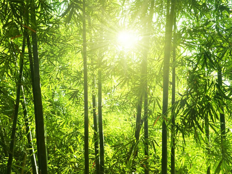 Bamboo forest wall mural majestic wall art for Bamboo forest wall mural