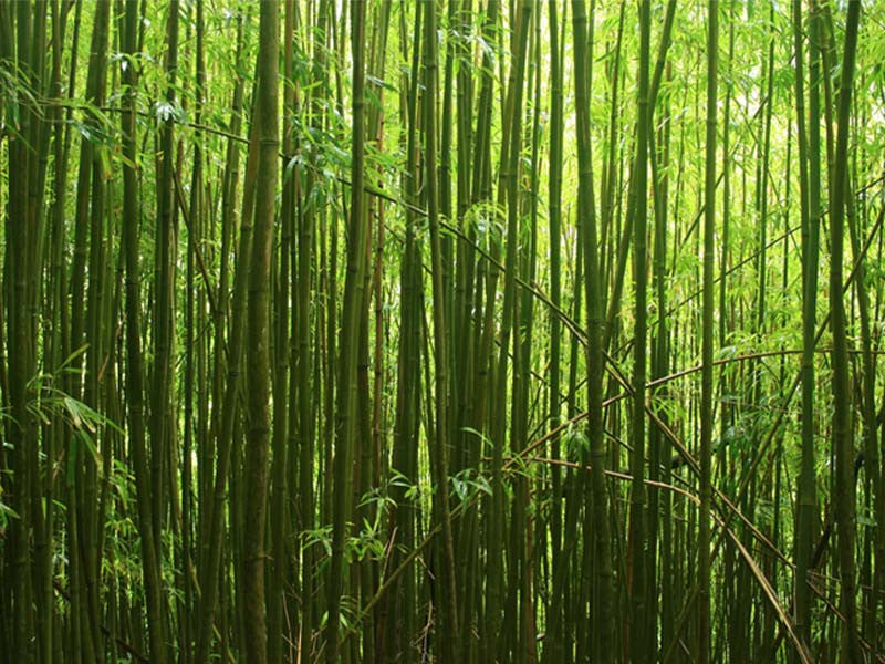 Bamboo Forest 1 Wall Mural