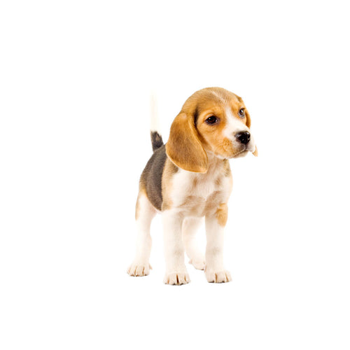 Beagle Portrait Wall Mural