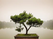 Load image into Gallery viewer, Chinese Bonsai Tree Wall Mural