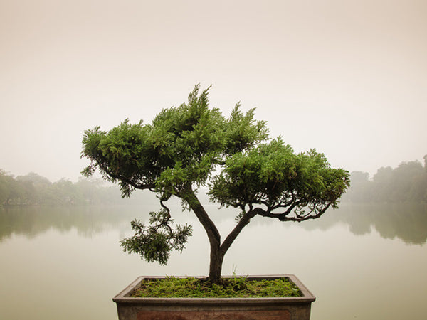 Chinese Bonsai Tree Wall Mural