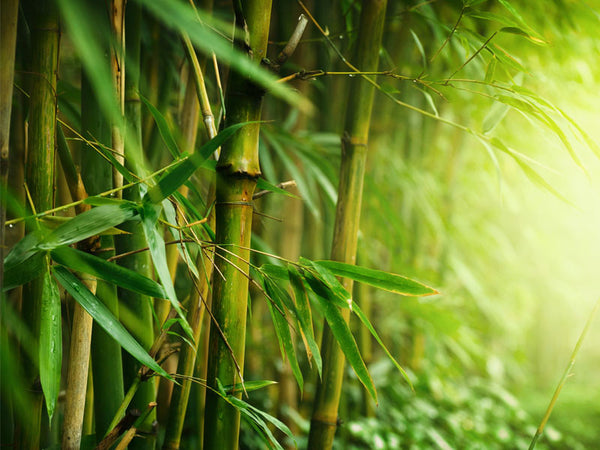 Closeup of Bamboo Forest Wall Mural