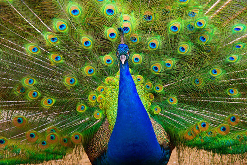 Colorful Peacock Wall Mural