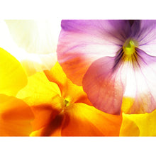 Load image into Gallery viewer, Colourful Viola Wall Mural