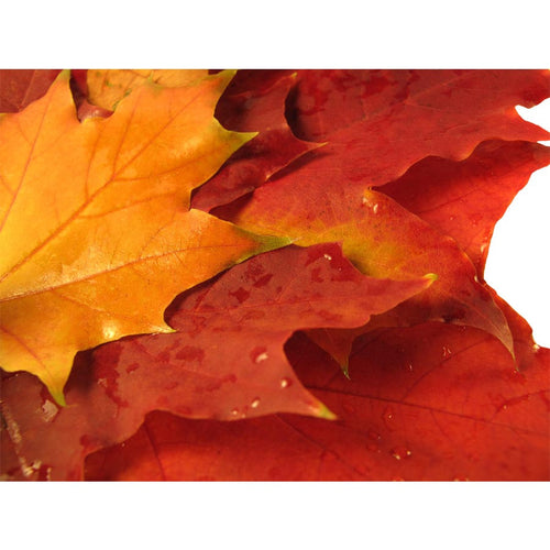 Beautiful Colored Fall Leaves Wall Mural