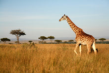 Load image into Gallery viewer, Giraffe Walking Through the Grasslands Wall Mural