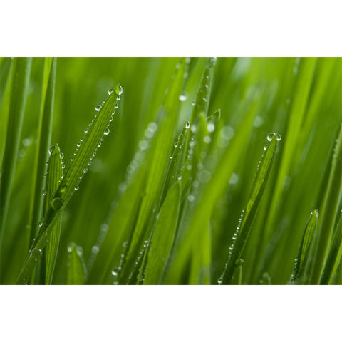 Grass with Dew Wall Mural