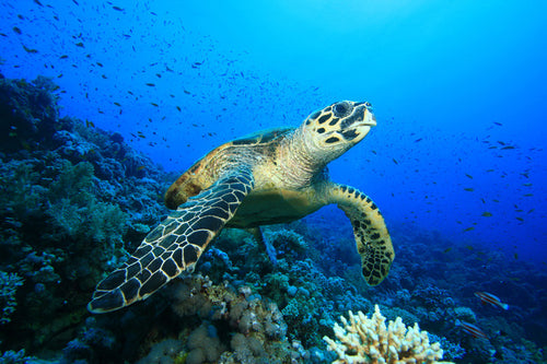 Hawsbill Turtle on a Coral Reef Wall Mural